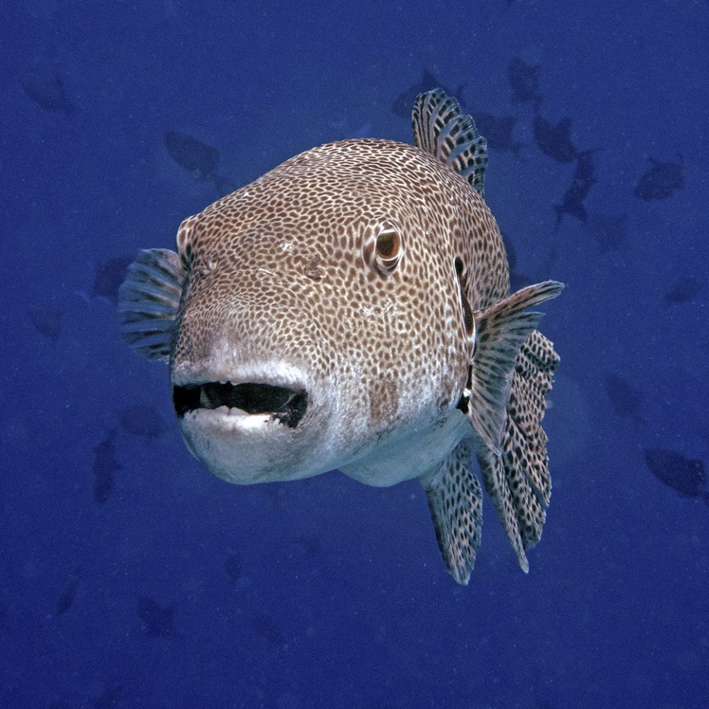 Un poisson-ballon / A pufferfish