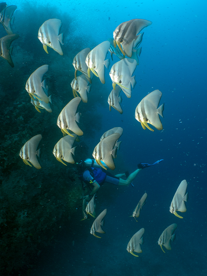 Un banc de platax et un plongeur heureux / A school of batfish and a happy diver