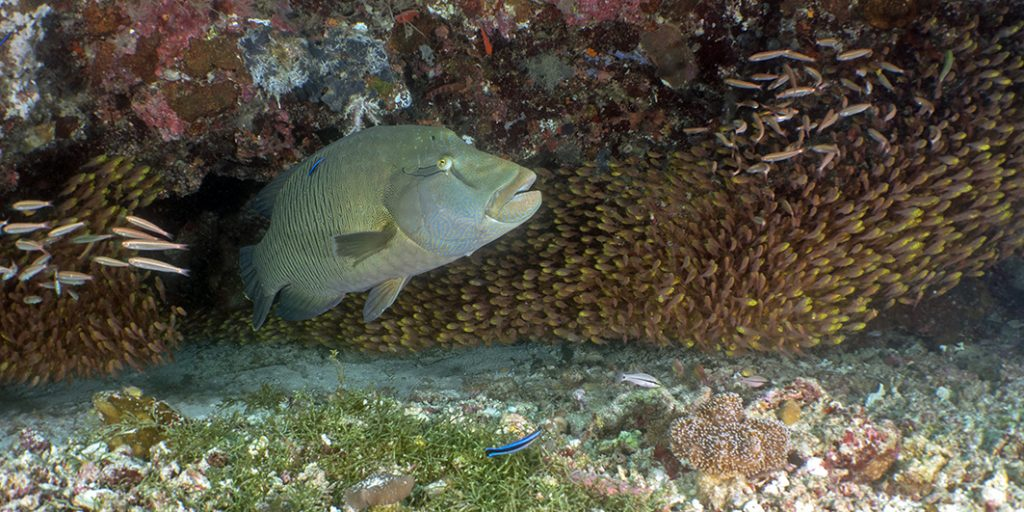 Le coup de bol du jour : un napoléon traverse le banc des poissons-hachettes / The lucky shot of the day: a napoleon wrasse swims through the school of sweepers