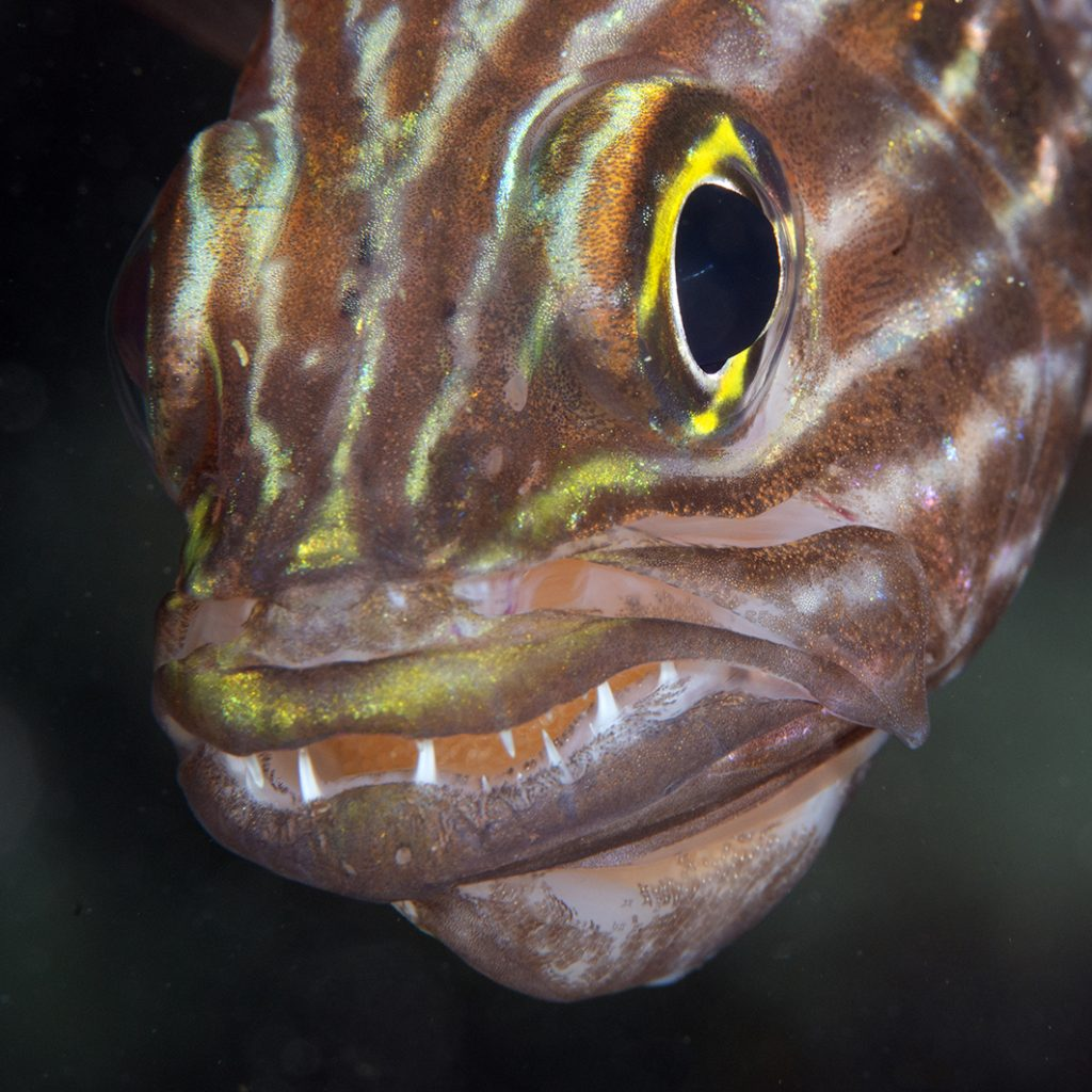 Apogon mâle incubant les œufs dans la bouche / Male cardinalfish mouthbreeding its eggs