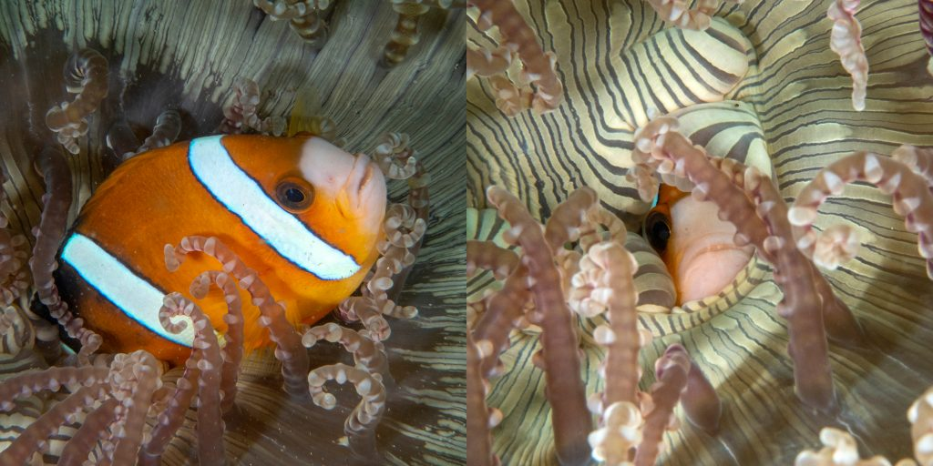 Pour vivre bien, vivons cachés ! Ce poisson-clown n'hésite pas à se cacher entièrement à l'intérieur de son anémone ! ••• Living in hiding: This clownfish hides completely inside its protecting anemone!