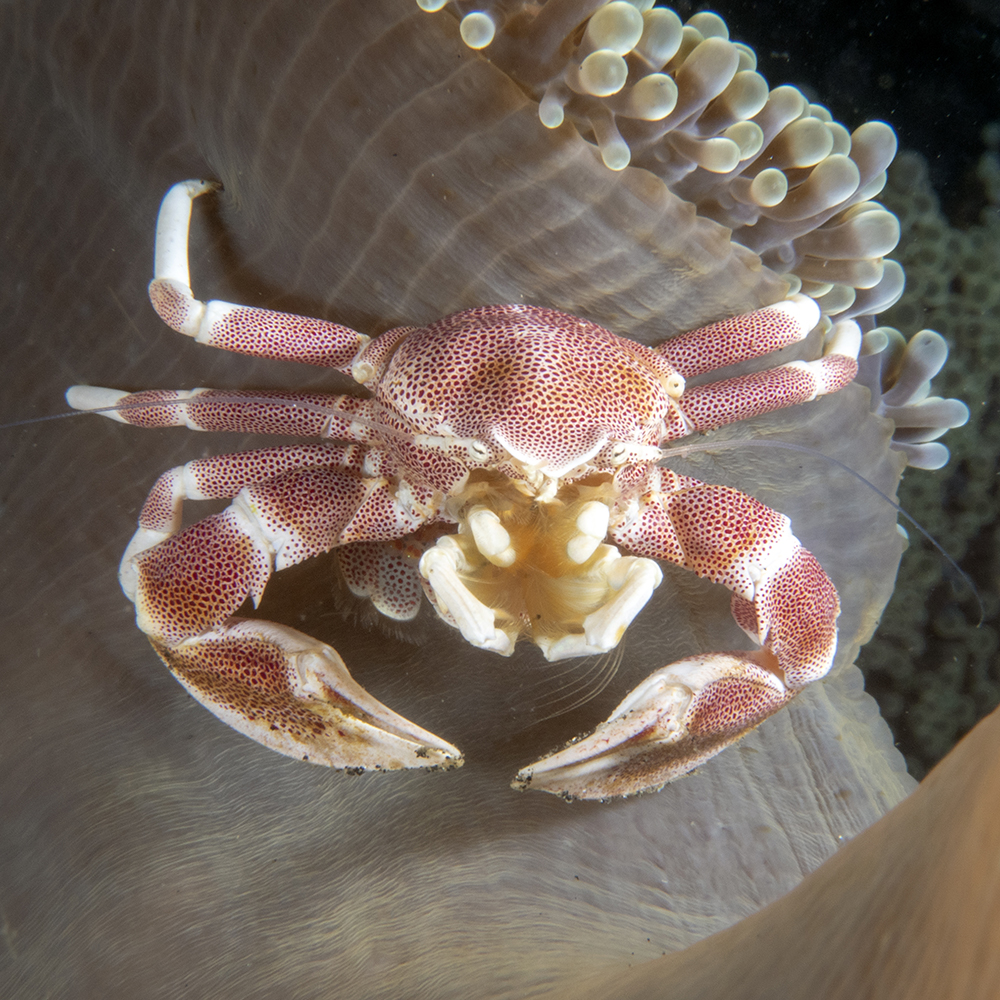 Depuis la protection d'une anémone de mer, ce crabe porcelaine ratisse l'eau de mer avec une sorte de filet à plancton. ••• Sheltered in a sea anemone, this porcelain crab rakes seawater with a kind of plankton net.