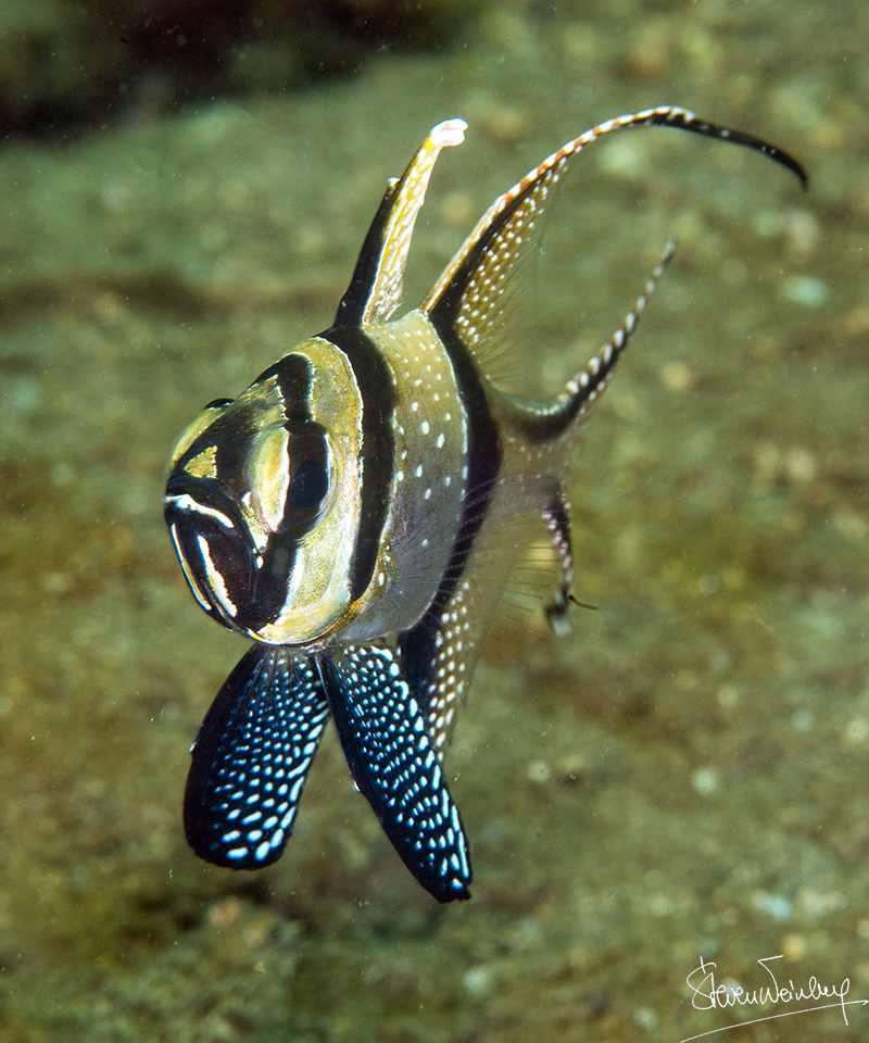 Un apogon de Banggaï (Pterapogon kauderni) vu de face / A head-on view of the Banggai cardinalfish (Pterapogon kauderni)
