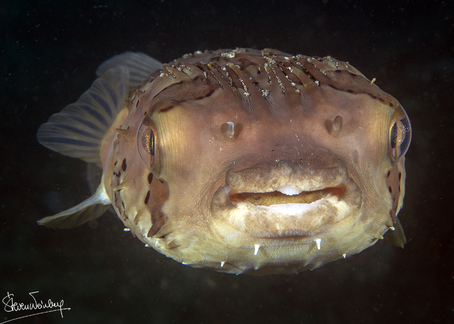 Ce diodon a plutôt l'air stupide… / This porcupinefish looks rather silly…