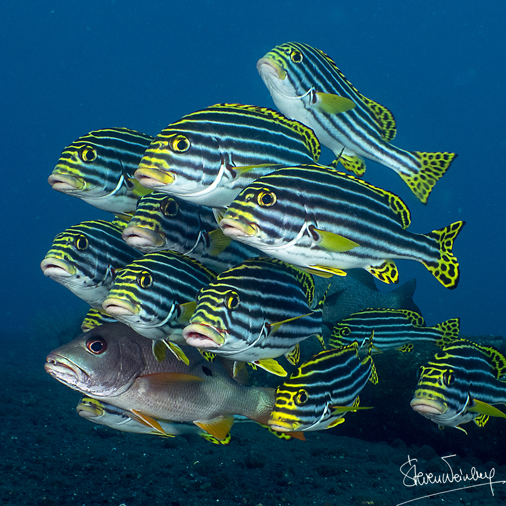 Un lutjan a trouvé refuge dans un banc de gaterins. / A snapper has found shelter in a school of sweetlips.